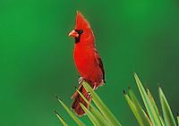 Northern Cardinal, Cardinalis cardinalis,male on Trecul Yucca (Yucca treculeana) , Starr County, Rio Grande Valley, Texas, USA