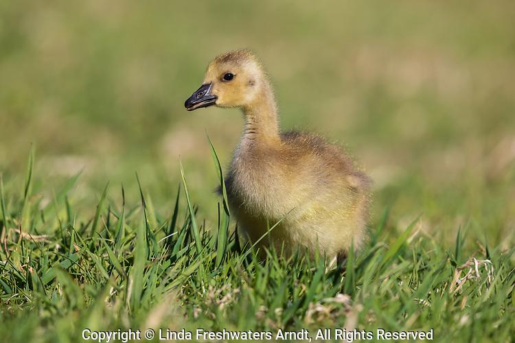 Gosling walking in a northern Wisconsin field.