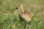 Gosling walking in a northern Wisconsin field.