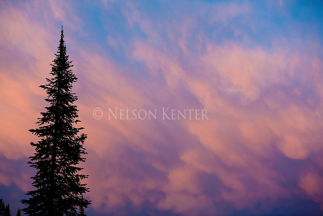 A silhouetted pine tree against a pink sky after sunset in the Sapphire Mountains in western Montana