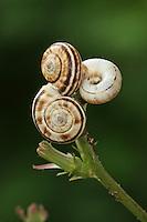 Weiße Heideschnecke, Östliche Heideschnecke, Heideschnecken, Xerolenta obvia, Helicella obvia, Helicella candicans, White heath snail, Eastern heath snail, Heath helicellid