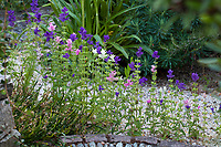 Salvia viridis aka. S. horminum (Annual Clary, Annual Sage), flowering by gravel path in Shelagh Tucker garden, Seattle, Washington