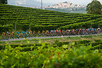 The peloton ride through the vineyards of Barolo during the 104th edition of GranPiemonte 2020, running 187km from Santo Stefano Belbo to Barolo, Italy. 12th August 2020.<br /> Picture: LaPresse/Marco Alpozzi | Cyclefile<br /> <br /> All photos usage must carry mandatory copyright credit (© Cyclefile | LaPresse/Marco Alpozzi)