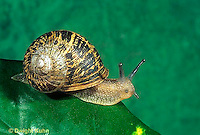 1Y08-127z  Land Snail - west coast snail - Helix aspersa