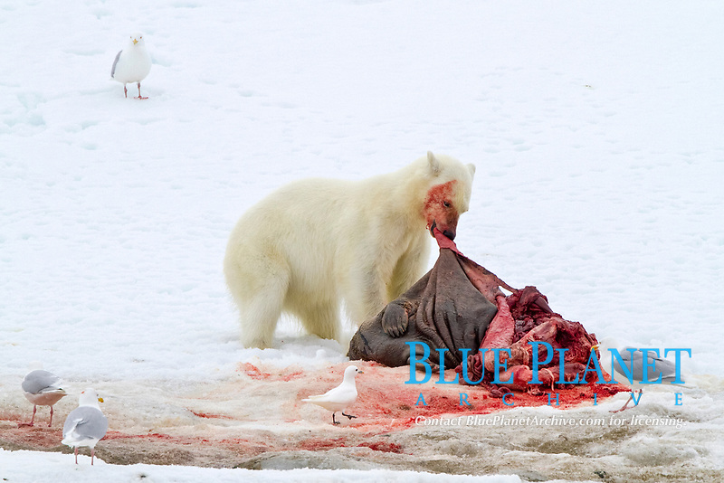 A younger polar bear, Ursus maritimus, feeding on a fresh bearded seal kill recently vacated by the old male that killed the seal near Monacobreen Glacier, Spitsbergen in the Svalbard Archipelago, Norway, Atlantic Ocean, polar bear, Ursus maritimus