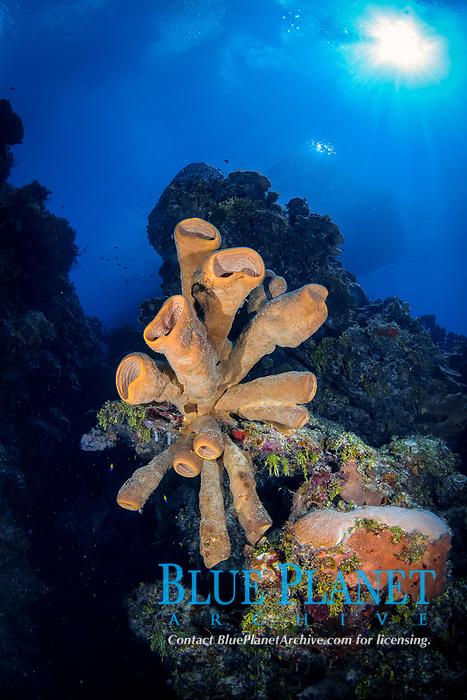 brown tube sponge, Agelas conifera, Bloody Bay Wall, Little Cayman, Cayman Islands, Caribbean Sea, Atlantic Ocean