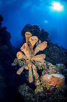 brown tube sponge, Agelas conifera, Bloody Bay Wall, Little Cayman, Cayman Islands, Caribbean Sea, Atlantic Ocean