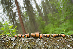 Bark peelings in the Boreal forest