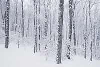 Snow covered beech trees in winter forest