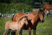 Bob, ANIMALS, REALISTISCHE TIERE, ANIMALES REALISTICOS, horses, photos+++++,GBLA3982,#a#, EVERYDAY