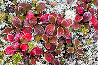 Morning frost coats the leaves of bearberry plants on the tundra in Denali National Park, Alaska.