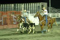 4415 / Rodeo: AMERIKA, VEREINIGTE STAATEN VON AMERIKA,NEVADA,  (AMERICA, UNITED STATES OF AMERICA), 24.07.2006: Rodeo in Ely, zwei Cowboys versuchen eine Kuh mit dem Lasso zu fangen. Der erste wirft sein Lasse im Gallop von seinem Pferd um die Hoerner der fluechtenden Kuh. Der zweite versucht dann die Hinterbeine mit dem Lasse  zu umschlingen. Es zaehlt die schnellste Zeit. Der Wettbewerb wird auch als Teamroping bezeichnet.