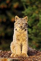 Canadian Lynx kitten (Felis lynx)
