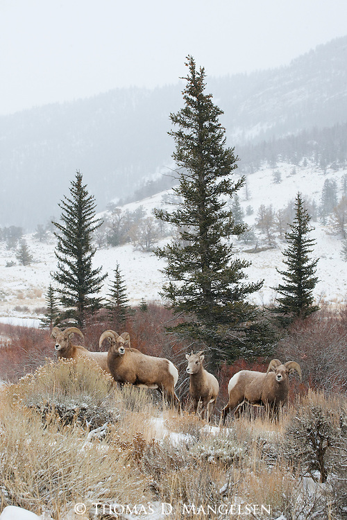 Four bighorn sheep are found along Torrey Creek where grass and protection can be found as winter descends on the Wind River Range in Wyoming.