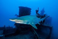 sand tiger shark, Carcharias taurus, aka grey nurse shark, spotted ragged-tooth shark, or blue-nurse sand tiger, and shipwreck, Chichi-jima, Bonin Islands, Ogasawara Islands, Natural World Heritage Site, Tokyo, Japan, Pacific Ocean