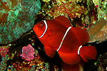 Spine-cheek Anemonefish
