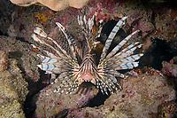 Luna lion fish, Pterois lunulata , Amami-ohsima island, Kagoshima, Japan, Pacific Ocean