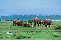 628501013 a wild herd of african elephants loxodonta africana forage in a swampy meadow in amboseli national park in tanzania