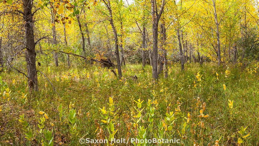 Autumn landscape in Cottonwood grove, West Bijou Ranch, Strasburg Colorado; managed by Savory Institute,