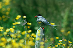 Arctic tern perched on a stump in a field of yellow flowers.