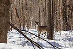 White-tailed doe walking in the winter forest of northern Wisconsin.