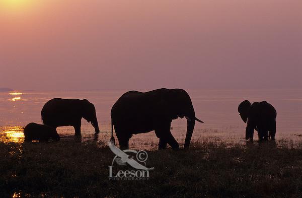 African Elephant family feeding in lake at sunset.  (Loxodonta Africana)  Africa.