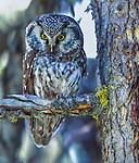Boreal owl, Laramie Mountains, Colorado, USA