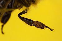 Honigbiene, Hinterbein, Sammelbein zum Sammeln von Pollen mit Körbchen, Kamm und Bürste, Honig-Biene, Biene, Apis mellifera, Apis mellifica, honey bee, hive bee