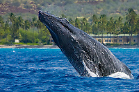 humpback whale, Megaptera novaeangliae, head-lunging, Big Island, Hawaii, USA, Pacific Ocean Ocea