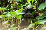 Chimpanzee (Pan troglodytes) pair in tropical rainforest, Lope National Park, Gabon