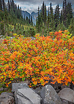 Mount Rainier National Park, WA: Autumn colors of mountain ash in the high alpine meadows near Paradise
