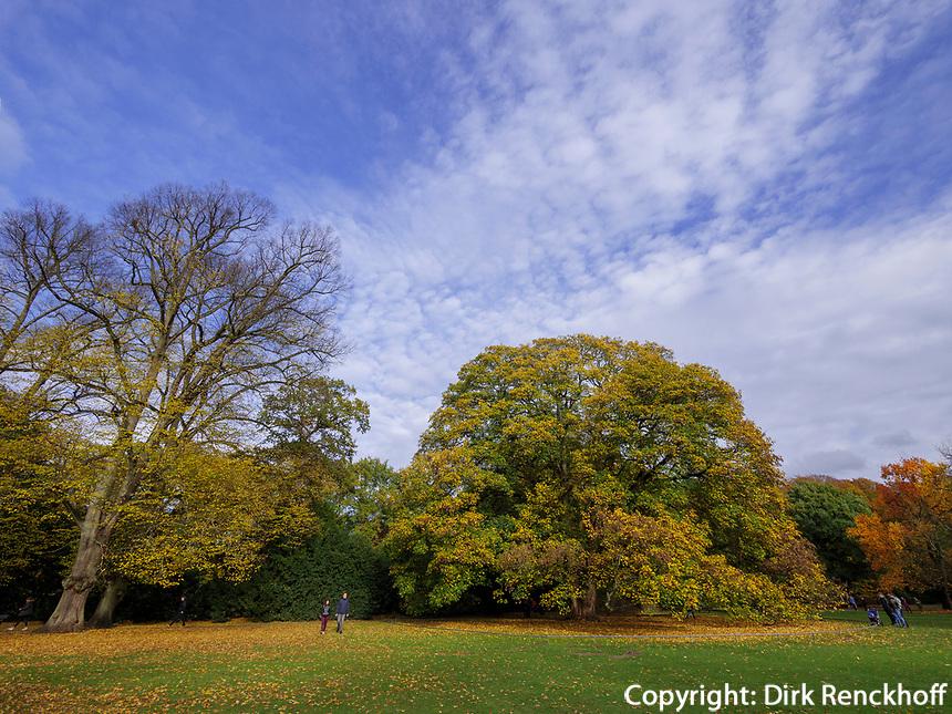 Altweibersommer, Bergahorm-Nationalerbe Baum im Hirschpark in Hamburg-Blankenese, Deutschland, Europa<br /> Indian Summer, sycamore maple- national heritage tree in Hirschpark in Hamburg-Blankenese, Germany, Europe
