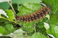 Schwarzer Bär, Raupe, Arctia villica, Epicallia villica, Cream-spot Tiger, caterpillar, woolly bears, woolly worms, Bärenspinner, Arctiinae, Arctiidae