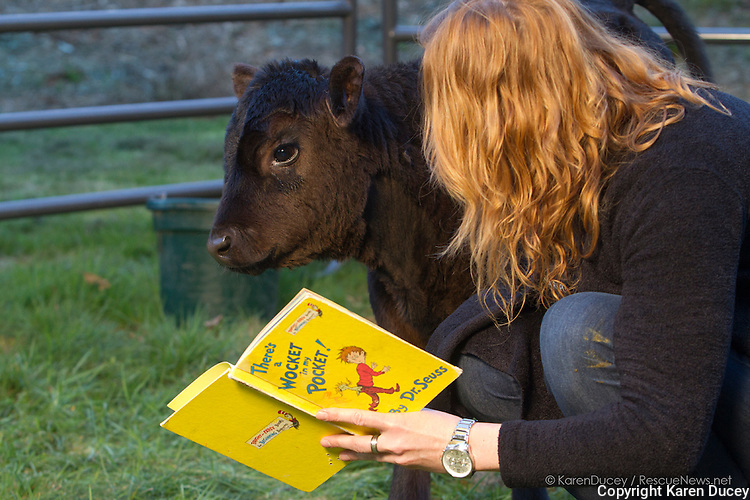 Clarence, a calf rescued from a ditch now living at the Northwest Equine Stewardship Center, is comforted by a volunteer Caroline Morgan who reads dr. Seuss books to him.