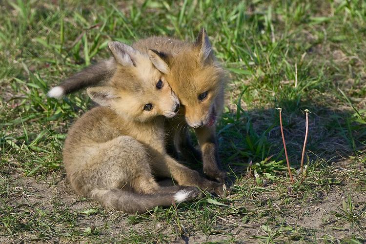 Pair of Red Fox Kits wrestling outside their den