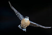 Kleiber, Spechtmeise, im Flug, Flugbild, fliegend, mit Vogelfutter im Schnabel, Sitta europaea, Nuthatch, Eurasian nuthatch, wood nuthatch, flight, flying, Sittelle torchepot