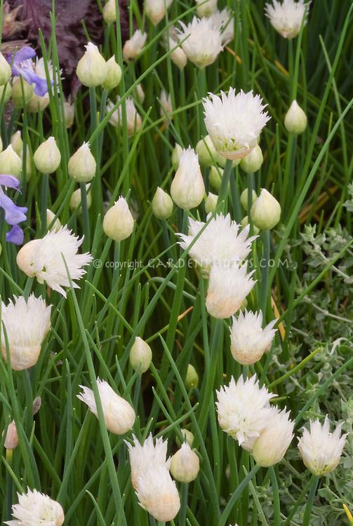 White flowered chives variety, Allium schoenoprasum 'Silver Chimes'  herb in bloom