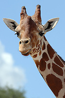 The Giraffe is the tallest animal in the world. Males may be 16-18 feet tall and weigh up to 2,000 pounds.