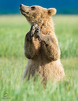 """Shiela captured this young Brown Bear (Ursus arctos) cub in an expressive moment.  We'll say he's """"clapping"""" here  - for all the attention he's drawing from the photographers. Actually it looks like he's using his paws to balance, while he puts that magnificent sense of smell to work.  But that's not as amusing.  Hallo Bay, Katmai National Park, Alaska."""
