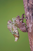 Cicada (Tibicen resh), adult emerged from nymph skin drying wings, Sinton, Corpus Christi, Coastal Bend, Texas, USA