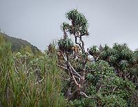 Mountain Neinei, Dracophyllum traversii, Westland Tai Poutini National Park, UNESCO World Heritage Area, West Coast, South Westland, New Zealand, NZ