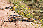 Brazoria County, Damon, Texas; several two foot long baby alligators sunning themselves for warmth on the bank of the slough in morning light