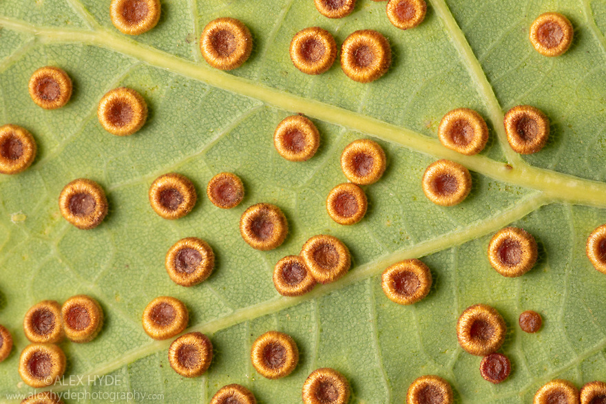 Galls of the Silk Button Gall Wasp {Neuroterus numismalis} on the underside of an oak leaf. A single wasp will emerge from each gall. Neuroterus numismalis has two generations per year, the first sexual and the second agamic. These 'silk buttons' are caused by the agamic generation whilst the sexual generation gives rise to a different form of gall known as 'blister galls'. Peak District National Park, Derbyshire, UK. August.