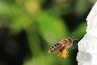 A bee gathering nectar from a cistus flower///Butinage d'une abeille sur une fleur de ciste.
