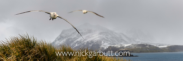 Wandering albatross (or snowy albatross, white-winged albatross or goonie) (Diomedea exulans) in flight over Prion Island in the Bay of Isles, South Georgia, South Atlantic. (composite image).