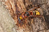 Hornisse, leckt Baumsaft, Baumsäfte an einem verletzten Baumstamm, Eichenstamm, Hornissen, Vespa crabro, hornet, hornets, brown hornet, European hornet