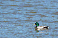 Mallard drake, Anas platyrhynchos, swimming on Upper Klamath Lake, Oregon