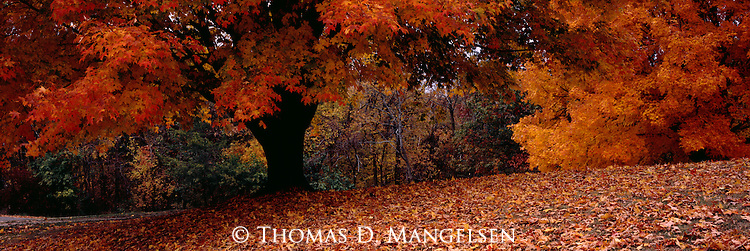 A sugar maple adorned in the splendor of fall color in Illinois.