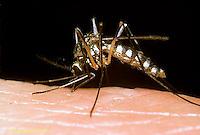 MQ07-010z  Mosquito - female biting human, carrier of West Nile disease - Aedes triseriatus [Ochlerotatus triseriatus]
