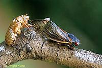 HO03-003c Cicada Periodical adult emerging from skin Magicicada spp.
